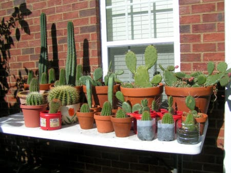 Cacti on a table, lizard doing his/her thing