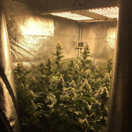 Cannabis plants growing under a Quantum Board LED grow light (HLG300) by depthchargeseeds