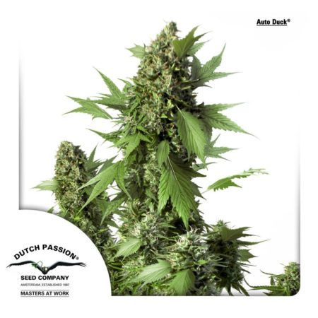 Duck Autoflowering strain by Dutch Passion
