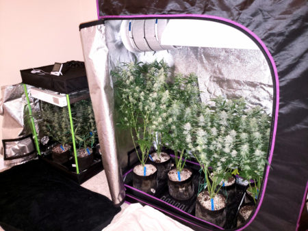 Cannabis grow tents - a 2'x2'x3' grow tent on left and 2'x4'x5' grow tent on right