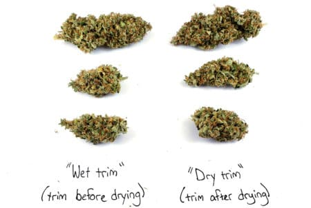 Difference between trimming buds before and after drying (strain is THC Bomb)