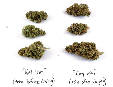Example of dry trim buds vs wet trim buds (strain is Royal Cookies)