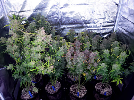 7 plants grown in coco coir under a 315 LEC grow light, just before harvest. They yielded almost 14 ounces!