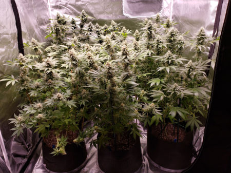 Six cannabis plants flowering under 2 x Electric Sky 300 LED grow lights