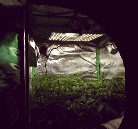 Cannabis plants growing under HLG 100 grow light