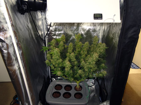 White Rhino before harvest under 250W HPS grow light in a 3'x3'x6' grow tent (6.4 ox harvest)