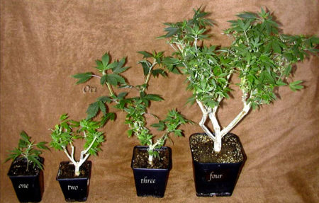 Examples of bonsai mother cannabis plants at different stages of development