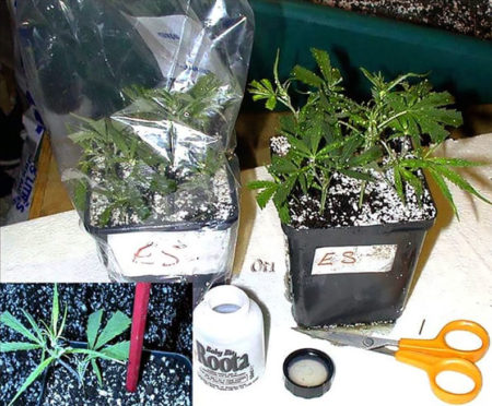 Insert cuttings into soil and cover with bag to lock in humidity