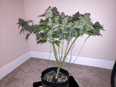 A cannabis plant with a very flat canopy