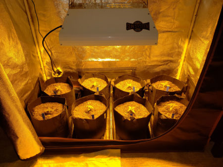 "This 250W HPS is being kept about 15"" away from the 15 day old cannabis seedlings"