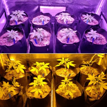 Hps vs Viparspectra LED grow tents at the end of week 3