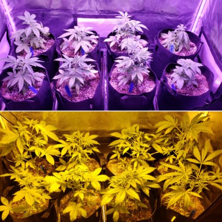 ViparSpectra LED vs 250W HPS grow journal - plants at the end of week 4 (lights on)