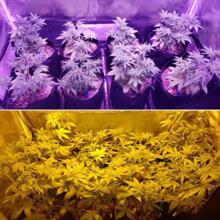 The ViparSpectra LED grow tent vs the 250W HPS grow tent - beginning of week 6 from germination