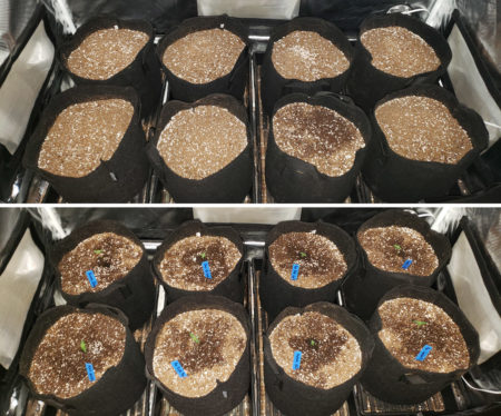 Cannabis seedlings are placed into pots