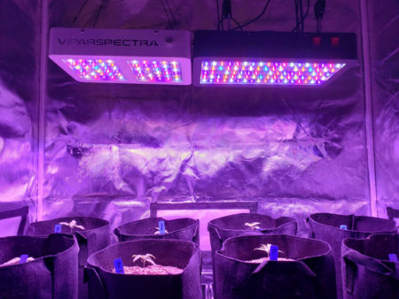 ViparSpectra LED grow lights shining on 15 day old cannabis seedlings