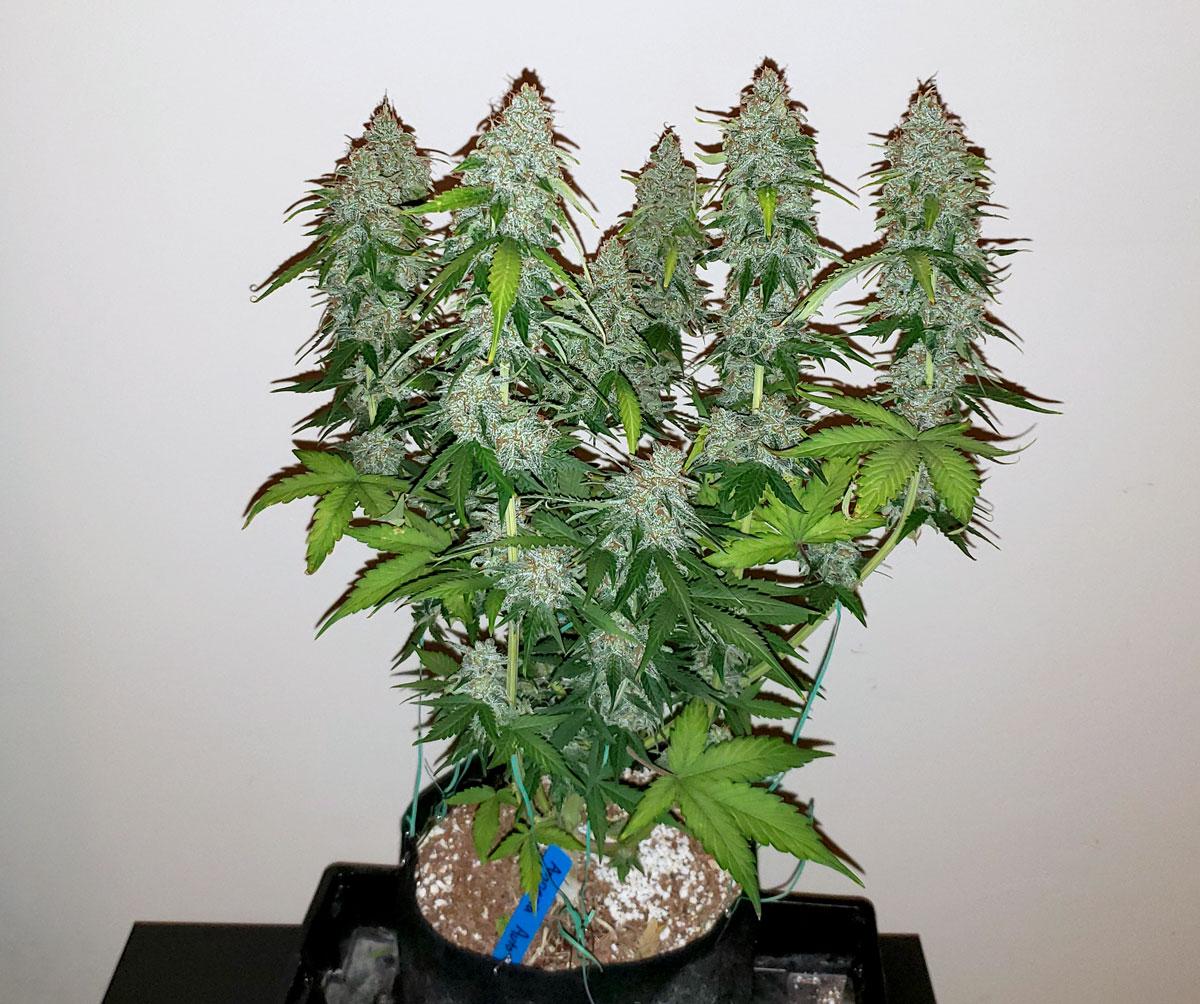 Space Buckets Start Growing Marijuana For 100 Grow