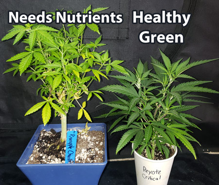 Left plant needs more nutrients (pale green) while right plant is healthy (hunter green)