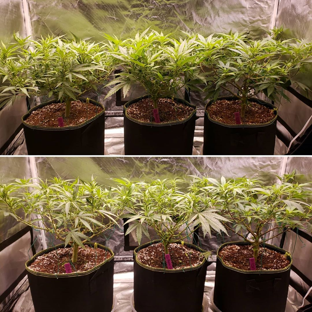 Image - Example of cannabis defoliation (Side view) - Before vs After