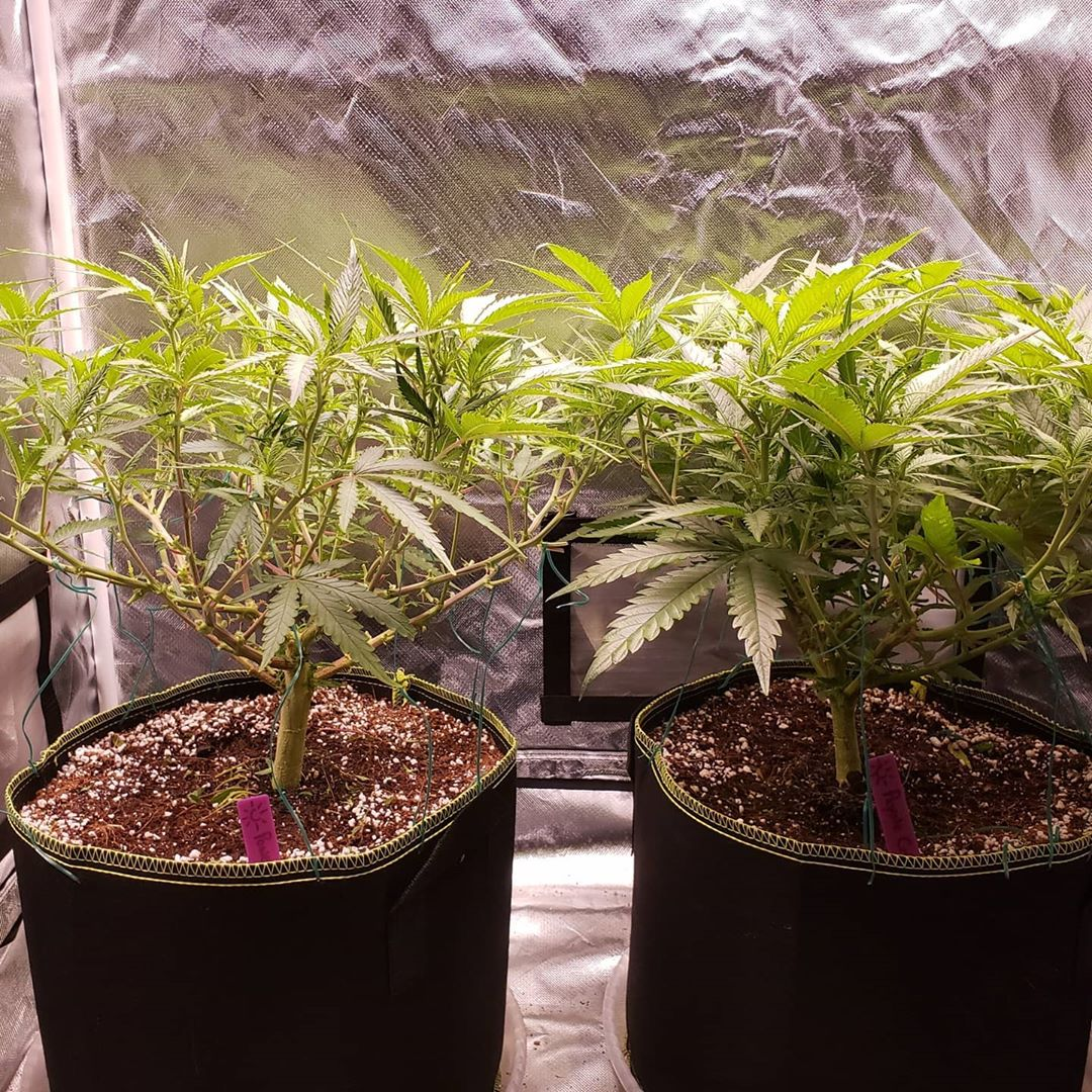 Image - Left marijuana plant was defoliated and lollipopped while the right plant is untouched