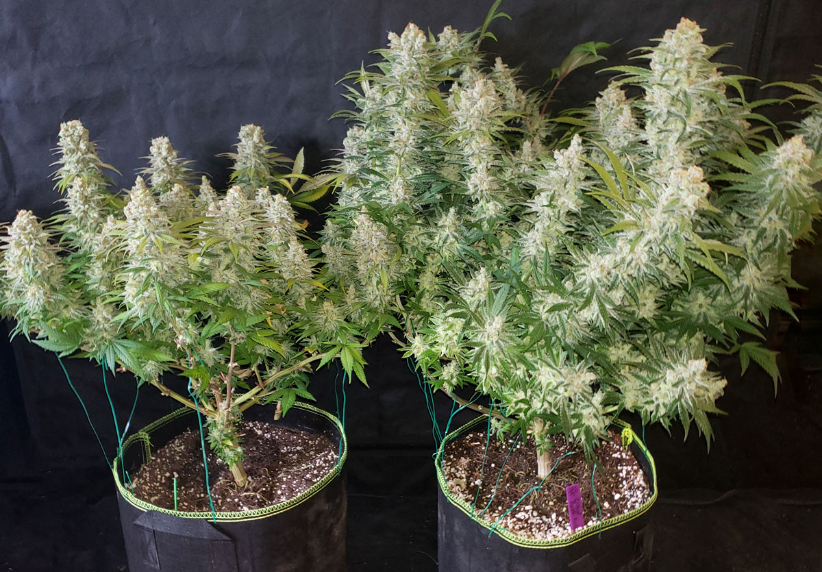 """Be careful not to damage your growth tips when topping - these will become new main stems, and this """"elbow"""" is also where buds form"""