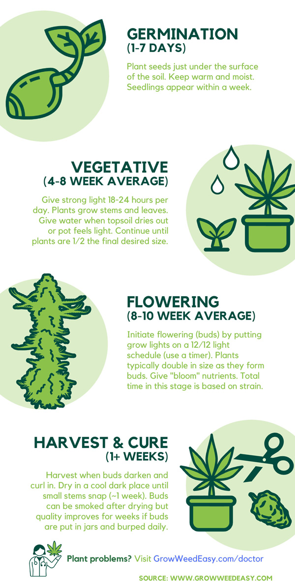 This infographic shows the timeline of an indoor cannabis grow, including how long it takes for each stage of life.