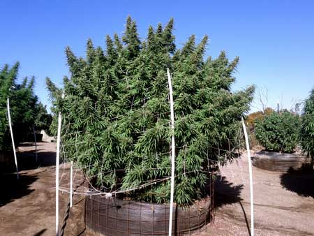 A happy cannabis plant growing pounds of weed outdoors. This plant shows what kind of environment cannabis plants like: Tons of sun and located in a spot with plenty of air moving through the branches.
