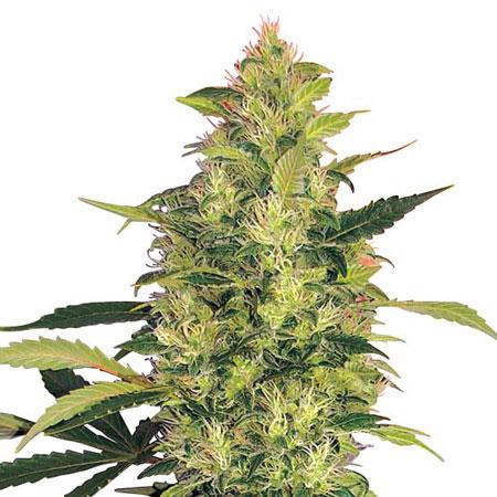 Trending Cannabis Strains 2021