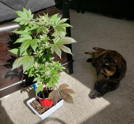 Solos cup cannabis plant growing with a hungry cat thinking about taking a nibble. This plant was auto-flowering so it can be left in a sunny window.
