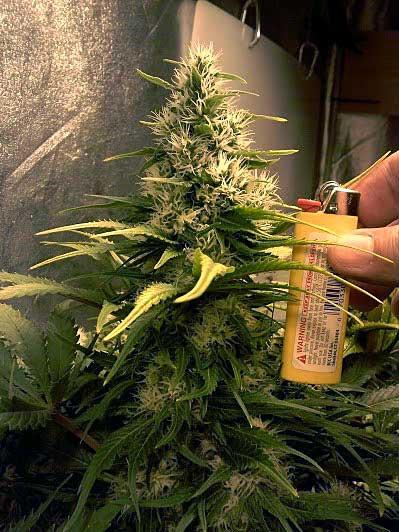 A Blueberry cannabis strain cola